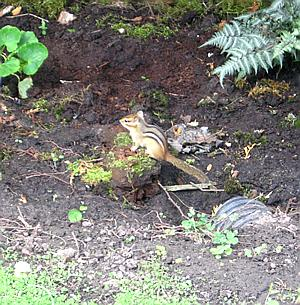 a chipmunk keeping watch near its bolt hole