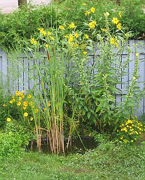 a native plant backyard pond