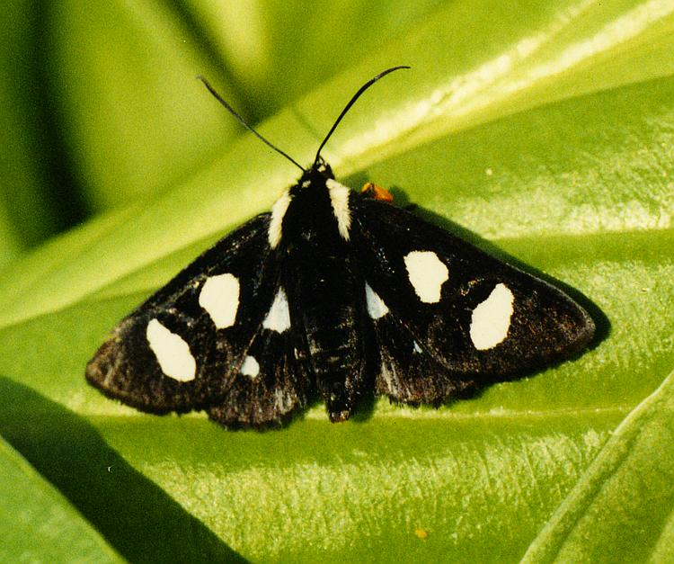 Alypia octomaculata