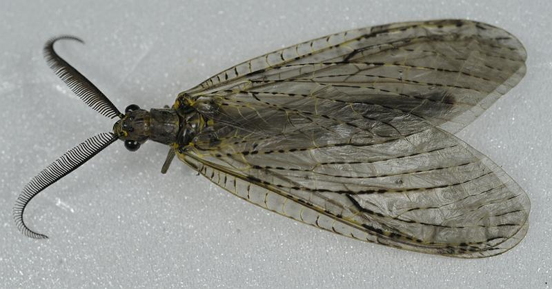Chauliodes rastricornis male