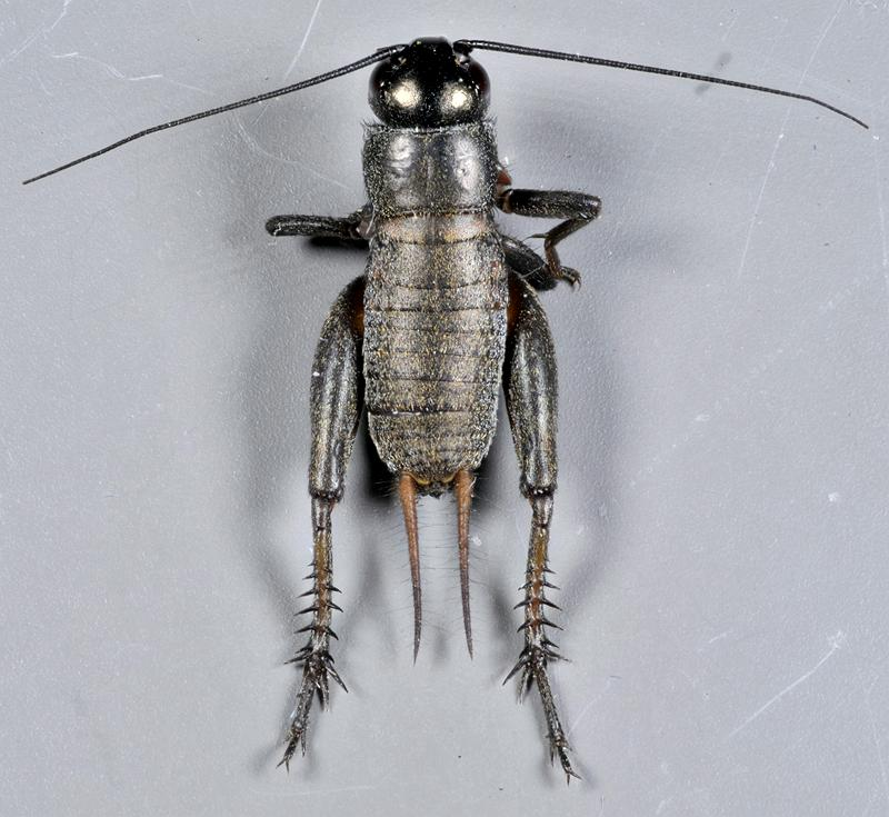 Gryllus pennsylvanicus male nymph
