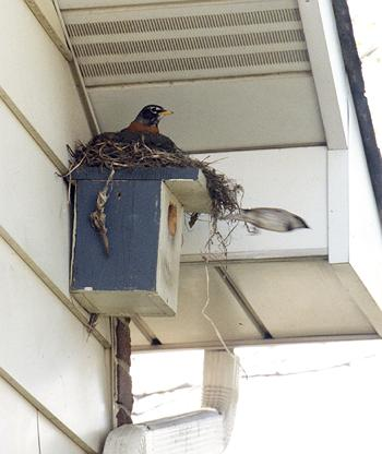 robin nesting on top of house sparrows