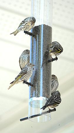 pine siskins at a niger seed feeder