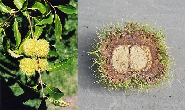 American chestnut fruit