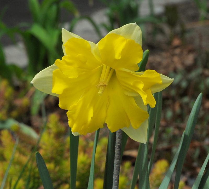 Narcissus 'Sunny Side Up'