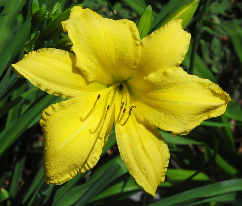 Hemerocallis 'Winning Ways'